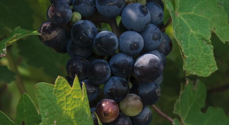 Приготовление самогона из винограда в домашних условиях